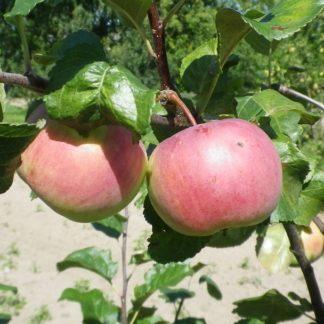 Viljapuud ja marjapõõsad, Õunapuu, Auksis