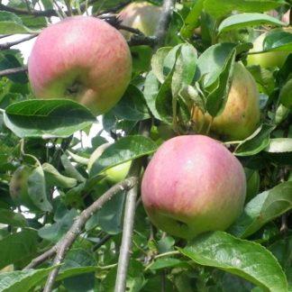 Viljapuud ja marjapõõsad, Õunapuu, Cortland