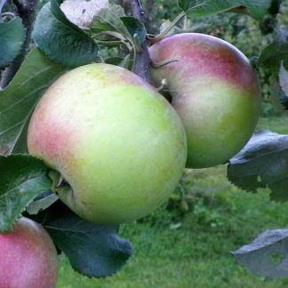 Viljapuud ja marjapõõsad, Õunapuu, Forele