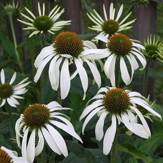 Lilled, Siilkübar, Purpur-siilkübar, Alba