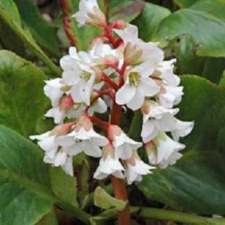 Lilled, Bergeenia, Südajalehine bergeenia, Bressingham White