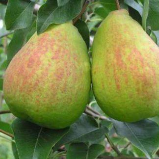 Viljapuud ja Marjapõõsad, Pirnipuu, Devoe