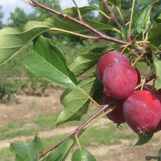 Viljapuud ja marjapõõsad, Õunapuu, Dolgo