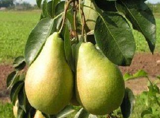 Viljapuud ja Marjapõõsad, Pirnipuu, Duhmjanaja