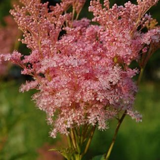Lilled, Angervaks, Punane angervaks, Venusta