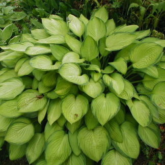 Lilled, Hosta, Gold Standard