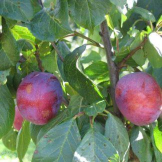 Viljapuud ja marjapõõsad, Aed-ploomipuu, Jubileum