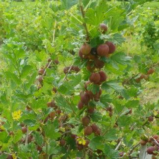 Viljapuud ja Marjapõõsad, Karusmari, Hinnonmäen Punainen