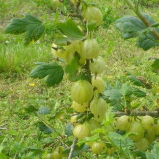 Viljapuud ja Marjapõõsad, Karusmari, Invicta