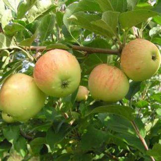 Viljapuud ja marjapõõsad, Õunapuu, Kasper