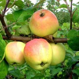 Viljapuud ja marjapõõsad, Õunapuu, Krameri Tuviõun