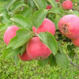 Viljapuud ja marjapõõsad, Õunapuu, Krista