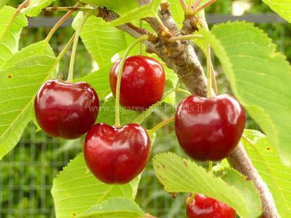 Viljapuud ja Marjapõõsad, Kirsipuu, Magus kirsipuu, Lapins