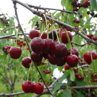 Viljapuud ja Marjapõõsad, Kirsipuu, Magus kirsipuu, Arthur endine Kristiina