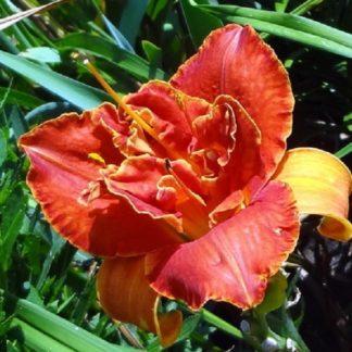 Lilled, Päevaliilia, Aed-päevaliilia, Moses Fire