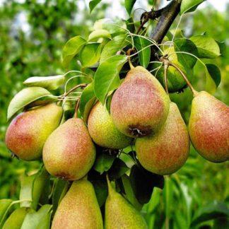 Viljapuud ja marjapõõsad, Pirnipuu, Patten