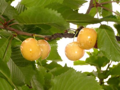Viljapuud ja Marjapõõsad, Kirsipuu, Magus kirsipuu, Paula