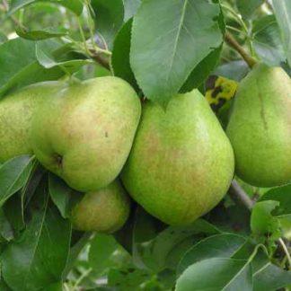 Viljapuud ja Marjapõõsad, Pirnipuu, Pepi