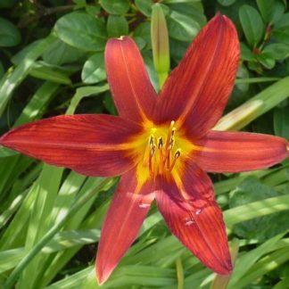 Lilled, Päevaliilia, Aed-päevaliilia, Sammy Russell