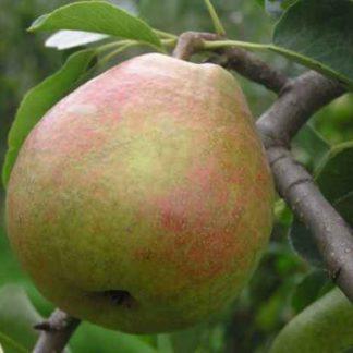 Viljapuud ja marjapõõsad, Pirnipuu, Suvenirs
