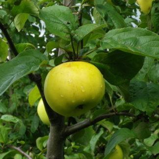 Viljapuud ja marjapõõsad, Õunapuu, Vahur