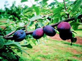 Viljapuud ja marjapõõsad, Aed-ploomipuu, Violetta