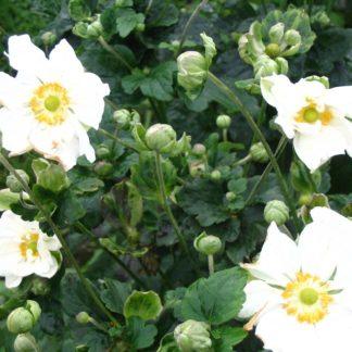 Lilled, Ülane, Jaapani ülane, Hübriidülane, Whirlwind