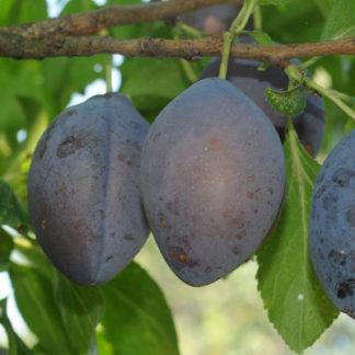 Viljapuud ja marjapõõsad, Aed-ploomipuu, Stanley