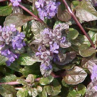 Lilled, Aubrieeta, Akakapsas, Roomav akakapsas,