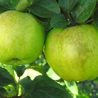 Viljapuud ja marjapõõsad, Õunapuu, Antonovka