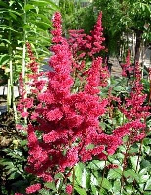 Lilled, Astilbe, Arendsi astilbe, Burgundy Red
