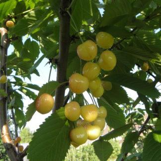 Viljapuud ja Marjapõõsad, Kirsipuu, Magus kirsipuu, Dönisseni Kollane