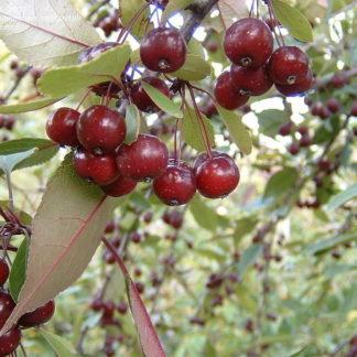 Lehtpuud ja -Põõsad, Iluõunapuu, Echtermeyer