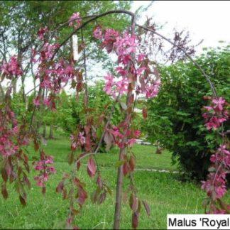 Lehtpuud ja -Põõsad, Iluõunapuu, Royal Beauty
