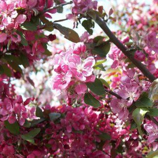 Lehtpuud ja -Põõsad, Iluõunapuu, Eleyi