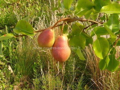 Viljapuud ja Marjapõõsad, Pirnipuu, Clappi Lemmik