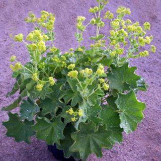 Lilled, Kopsurohi, Kortsleht, Pehme kortsleht