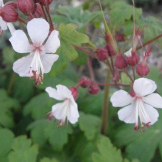 Lilled, Kurereha, Risoomikas kurereha, Ingwersen´s Variety