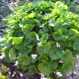 Lilled, kannike, Liblikjas kannike, Albiflora