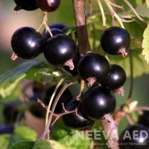 Viljapuud ja Marjapõõsad, Must sõstar, Mede Must