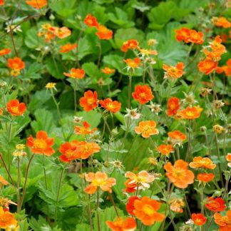 Lilled, Mõõl, Sarlakpunane mõõl, Borisii-Strain