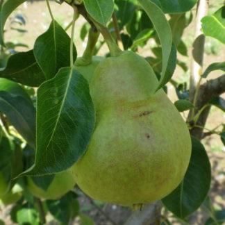 Viljapuud ja Marjapõõsad, Pirnipuu, Mliivska Rannja