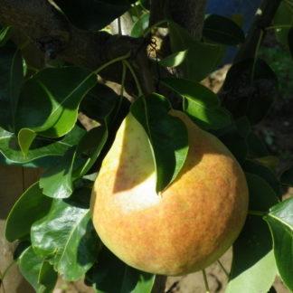 Viljapuud ja Marjapõõsad, Pirnipuu, Mramornaja