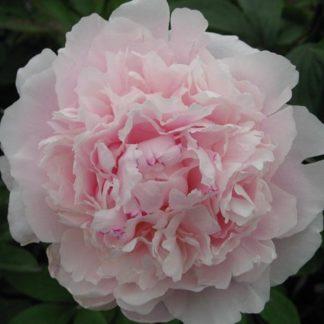 Lilled, Pojeng, Valgeõieline Pojeng, Sarah Bernhardt