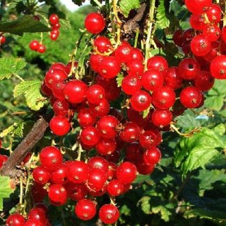 Viljapuud ja Marjapõõsad, Punane sõstar, Rolan