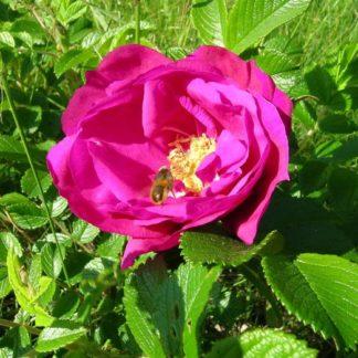 kurdlehine kibuvits, roosid, pargiroosid