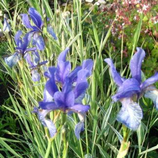 Lilled, Iiris, Võhumõõk, Siberi Võhumõõk
