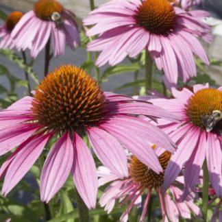 Lilled, Siilkübar, Purpur-siilkübar, Magnus