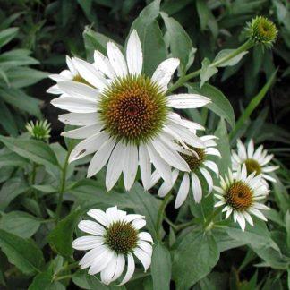Lilled, Siilkübar, Purpur-siilkübar, White Swan