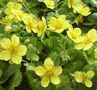 Lilled, Valdsteinia, Siberi valdsteinia